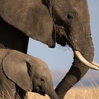 maasai mara elephant