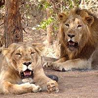 Sacred Saurashtra with Diu & Gir National Park Tour