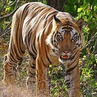 India Tiger Tour