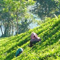 Munnar Tea Tasting & National Park Tour