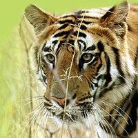 12 Days Tiger Wildlife Tour