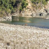 Tiger crossing Ramganga River