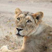 Lion Safari Tour