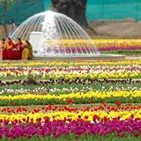 Tulip Special Kashmir