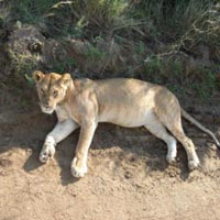 Amboseli 2 Nights/Samburu 2 Nights/Maasai Mara Flying Package