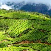 tea garden- munnar