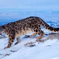 Snow leopard Trek with Home-stay Tour