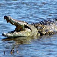 Crocodile Bhitarkanika