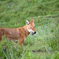 Wild life & Trekking in Bale Mountain National Park