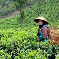 Tea Tasting Tour Assam