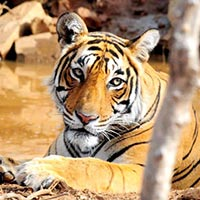 Rajasthan Wild Triangle, Tiger and Udaipur Tour