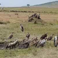 Birds of prey in Masai Mara