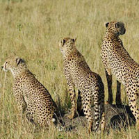 Samburu - Aberdare - L.Nakuru - Maasai Mara - Nairobi - Kenya Tour(8 D & 7 N )