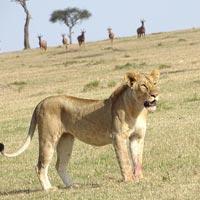 3 Days 2 Nights Masaimara Budget safari Tour