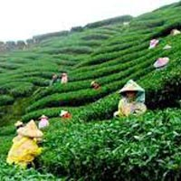 Mesmerizing Darjeeling Gangtok Tour (Honeymoon Special)