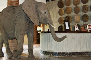 Elephant Walking through the Reception at Mfuwe Lodge