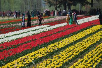 Tulip 🌷Gardan Srinagar