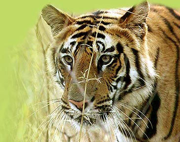 12 Days Tiger Wildlife Tour