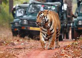 Tiger Safari Tour With Golden Triangle