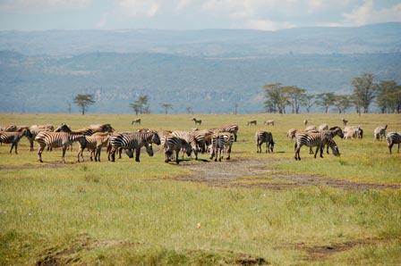 Zebras at Masai Mara