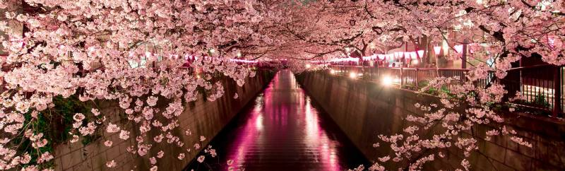 Cherry blossom special - Japan
