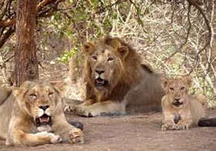 West India Lion Safari Tour