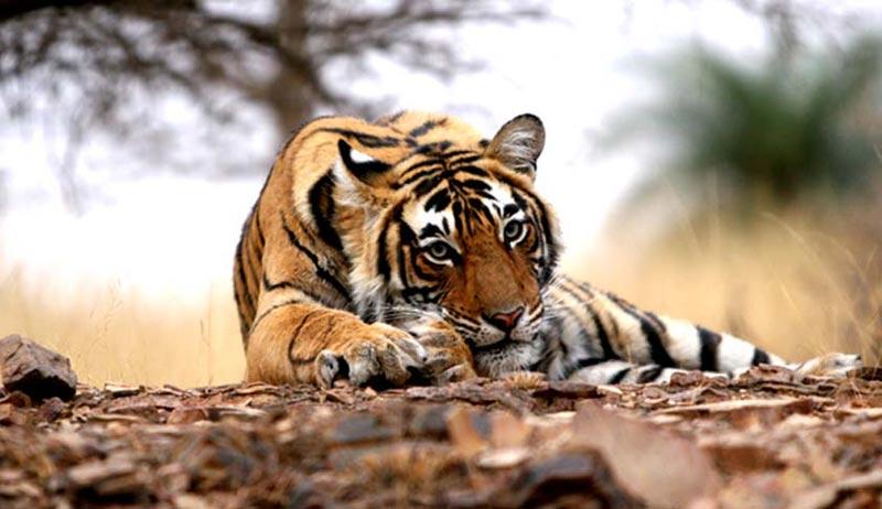 Rajasthan Tiger Tour