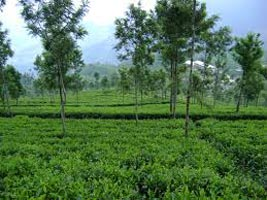 Southern Tea Estate Tour