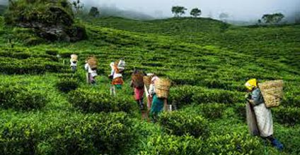 Champagne Of Teas Eco Village Tours