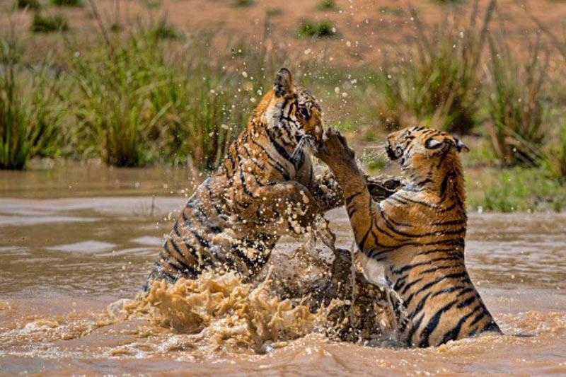 Bandhavgarh Safari package  (M.P)