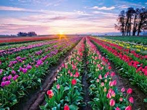 Tulip Tour