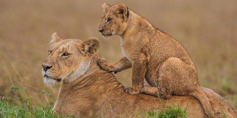 Masai Mara Overnight Safari 2-Day Tour