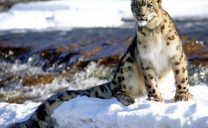 Snow Leopard Trek Tour