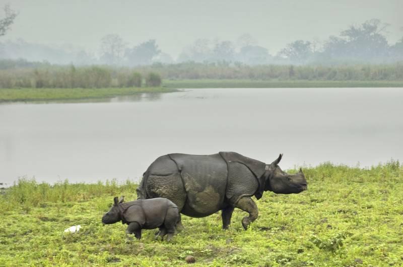 Kaziranga Rhino Safari with Sundarban Tiger ( Highest Rhinoceros Land in the World) Tour