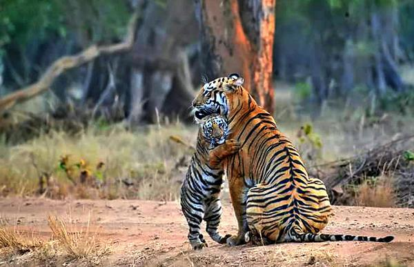 1 Night Stay Tadoba Tiger Darshan Chandrapur Tour