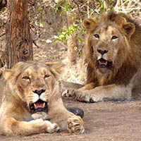 Sacred Saurashtra with Diu & Gir National Park Tour
