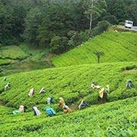 Trip to the Tea Capital Tour