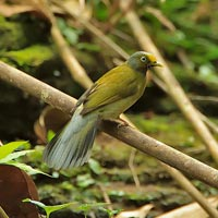 Endemics Birding Tour of South India