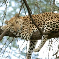 Leopard  & Tiger Tour