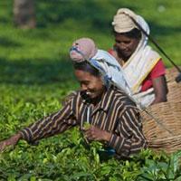 Tea Tour of India