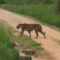 Kanha - Tiger