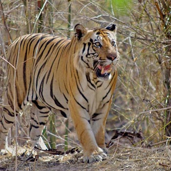 Tiger Safari India Package