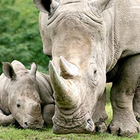 Rhino and Tiger Tour Package