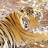 Tigers With Camel And Desertwildlife In South India Tour