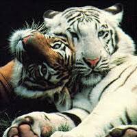 The Bengal Tiger.