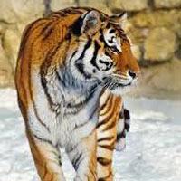 Tigers Galore11
