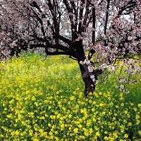 Spring of Kashmir Tour