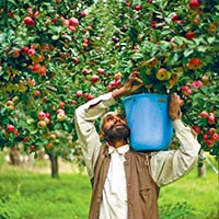 Apple farms