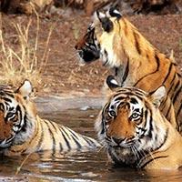 Jungle Safari to Kanha National Park Tour