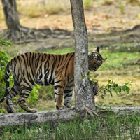 Pench Tiger Reserve Tour
